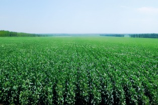 Se reanudó la cosecha de soja y avanza el cultivo de maíz en Santa Fe